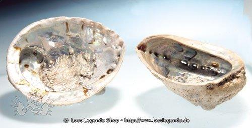 Seeohr Muschel ca. 10-15 cm